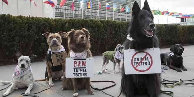 kopekler hayvan deneylerini durdu kulecanbazi com 660x330 - Köpekler Hayvan Deneylerini Durdurmak İçin Protesto Etti